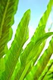 Green Leaf of Bird's Nest Fern Stock Images