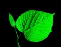 Green leaf on black Royalty Free Stock Photography