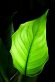 Green leaf on black Royalty Free Stock Image