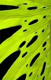 Green leaf on black Royalty Free Stock Photo