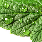 Green leaf of blackberry and dew Stock Photo