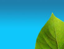 Green leaf on blue Royalty Free Stock Photography