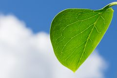 Green Leaf With a Blue Cloudy Sky. A Large Green Leaf With Visible Veins a Blue Cloudy Sky Royalty Free Stock Images