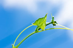Green leaf and blue sky Stock Photos