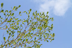 Green leaf. With blue sky Stock Image