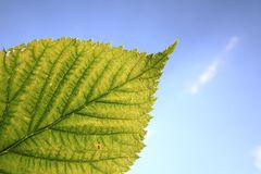 Green leaf and blue sky Royalty Free Stock Photography
