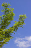The green leaf on blue sky Royalty Free Stock Photography