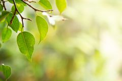 Green leaf on blurred natural background, Natural green background, in garden royalty free stock image