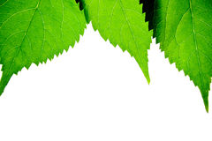 Green leaf border Royalty Free Stock Photos