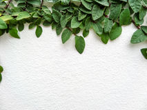 Green leaf border. Isolate of plant on the wall in garden stock photo