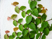Green leaf border, Isolate of plant on the wall in garden Royalty Free Stock Photo