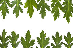 Green leaf border over white. closeup Stock Image