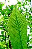The green leaf. In botany, the leaf is a plant organ specializing in making chlorophylline photosynthesis. For this purpose, a leaf is normally flat and thin so Royalty Free Stock Images