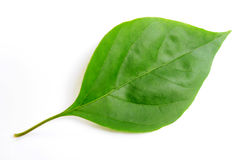 Green leaf of bougainvillea spectabilis wind Stock Image