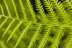 Green Leaf of Bracken (Pteridium) Stock Images