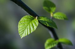 Green leaf on the branch. In evening light Royalty Free Stock Photos