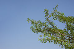 Green leaf branches against blue sky. Royalty Free Stock Image