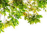 Green leaf and branches Royalty Free Stock Photos