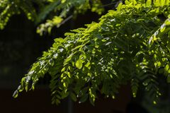 Green leaf on the branches isolates on a black background. A Beautiful Acacia Twig With Green Leaves stock images