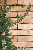 Green leaf on the brick Royalty Free Stock Images