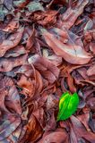 Green leaf with brown dry leafs in Autumn season stock images