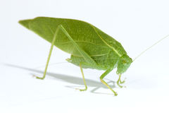 Green Leaf Bug. Found on a citrus tree Royalty Free Stock Image