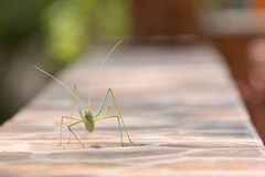 Green leaf bug walking and eating on a mantel. Royalty Free Stock Photo