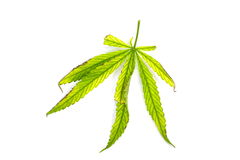 Green leaf of canabis on white background Royalty Free Stock Photos