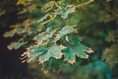 Green leaf canadian maple. Beautiful picture with green leaves yellow at the edges of canadian maple stock photo