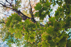 Green leaf canadian maple. Big branch canadian maple with bright green leaves Royalty Free Stock Photos
