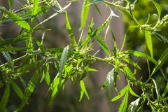 Green leaf of cannabis, background image. Thematic photos of hemp. stock images
