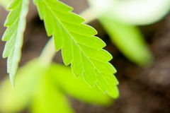 Green leaf of cannabis close up macro. Themed photo for the legalization of hemp.  stock image