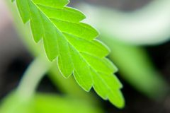 Green leaf of cannabis close up macro. Themed photo for the legalization of hemp.  royalty free stock image
