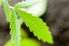 Green leaf of cannabis close up macro. Themed photo for the legalization of hemp.  stock photos
