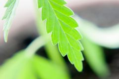 Green leaf of cannabis close up macro. Themed photo for the legalization of hemp.  royalty free stock photography