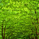 Green leaf canopy Royalty Free Stock Photography