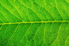 Leaf cell structure. Green Leaf cell structure , leaf texture for pattern and background Royalty Free Stock Photos