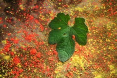 A green leaf on a cement floor with Holi color powders Stock Image