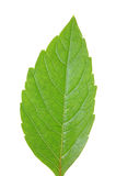 Green leaf of chestnut . Design Element Stock Image