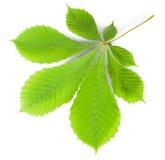 Green Leaf Chestnut Royalty Free Stock Images