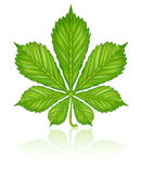 Green leaf of chestnut tree isolated Royalty Free Stock Image
