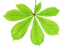 Green leaf of chestnut tree Royalty Free Stock Photos