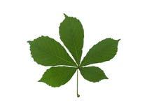 Green leaf chestnut Stock Images