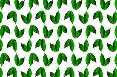Green leaf chestnut on white background. Vector pattern, Castanea sativa Royalty Free Stock Image