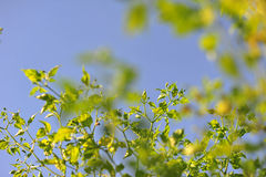 Green leaf of chilli pepper in front of blue sky and cloud backg Royalty Free Stock Images