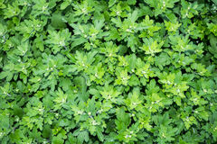 Green leaf Chrysanthemum flower Garden Nature background Royalty Free Stock Images