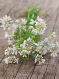 Green leaf cilantro coriander bloom Royalty Free Stock Photos
