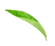 Green leaf of citrus-tree Stock Images