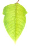 Green leaf with clipping path. Green leaf isolated on white with clipping path Royalty Free Stock Photography