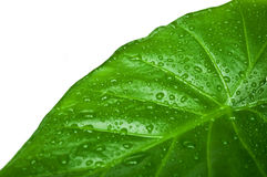 Green leaf - close-up Royalty Free Stock Image